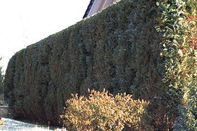 Blaue Scheinzypresse im Winter
